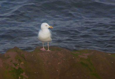 Herring Gull at Kilchattan Bay
